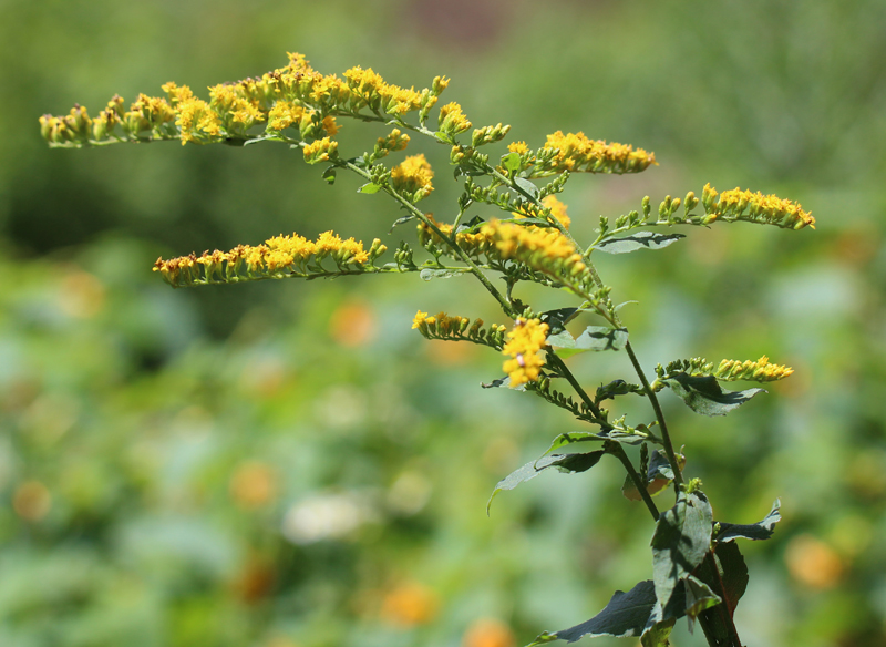 Elmleaf Goldenrod Picture