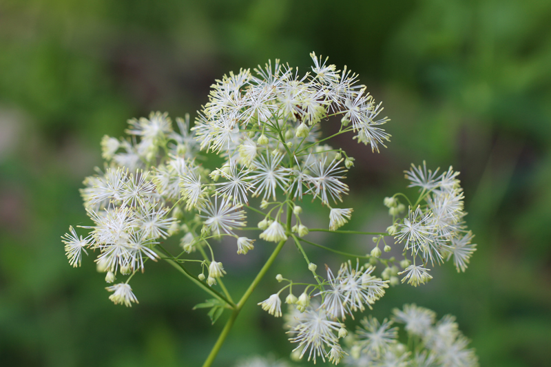 Purple Meadow Rue Picture