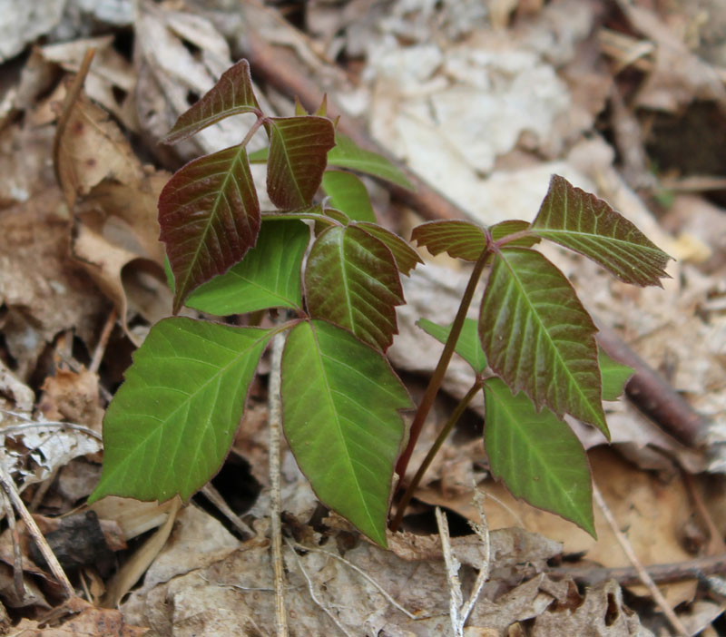 Eastern Poison Ivy Picture