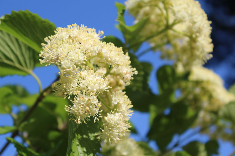 Southern Arrow-wood Viburnum Picture